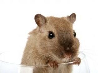Fat Mice, Liposuction, and Cancer