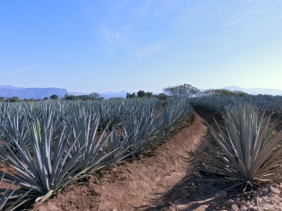Agave, Placebo Were Better Than Nothing for Cough Treatment