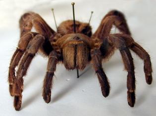 Arachnophobia Smerachnophobia