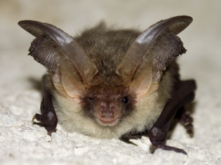 Old Bats Have Secrets of Youth