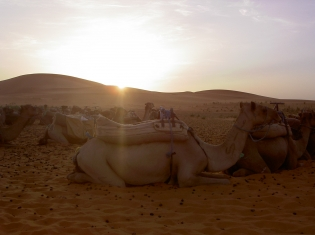 Do Camels Hold the Key to MERS?