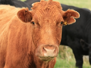 Mad Cow Disease Tied to Texas Death