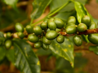 Authors Retract Flawed Green Coffee Extract Study Featured on Dr. Oz