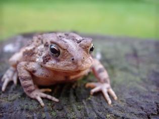 Real Frogs Not As Kid-Friendly as Kermit