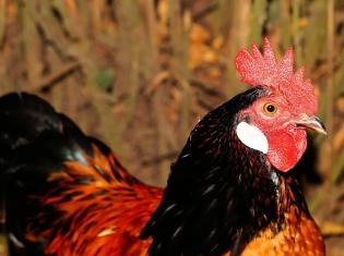 Japanese Chickens Test Positive for Bird Flu