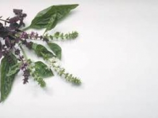 Herb may Help Treat Deadly Brain Cancer