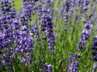 Sweet Smelling Herbal Treatment for Anxiety