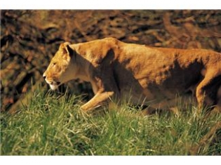 Which is Easier to Tame – a Gene or a Lion?