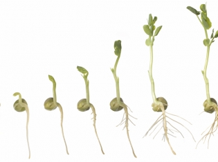 Sprouts Likely E. Coli Culprit