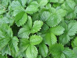 Marijuana: Same Plant, Different Possibilities