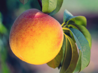 Fruits Not So Peachy Keen for Asthma and Allergy Protection