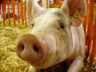 Going to the Fair? Stay Away from Pigs