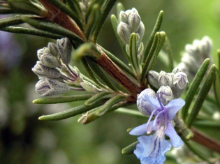 Our Brains Race for Rosemary