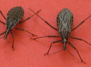Chagas Disease Parasite Found in Texas