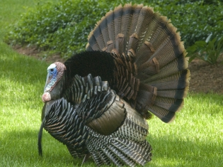 Skip the Tail on Turkey Day