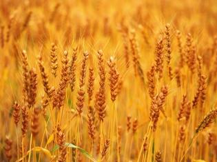 Defining Wheat Sensitivity