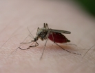 Mosquito-Carrying Diseases May Threaten Kids
