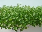 Watercress May Suppress Breast Cancer Cell Development