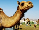 Camel Link for MERS Confirmed