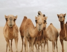 Camel Pinned as MERS Source