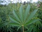 Cannabis: An Infamous Treatment