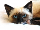New Treatment Method May Reduce Cat Allergy Symptoms