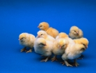 Salmonella Outbreak Tied to Mail-Order Hatchery