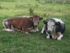 Slight Mad Cow Risk Leads to Recall