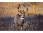 Osteoporosis Clues Found in Deer Antlers