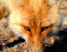Thyroid Cancer Outfoxed