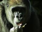 Gorilla Going Ape Not Seen By Most