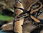 Heart Healthy Pythons
